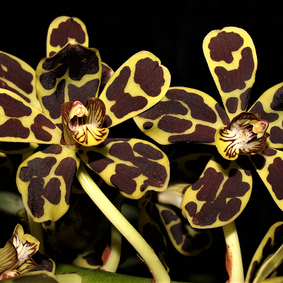 How to Grow: Grammatophyllum Orchid Care
