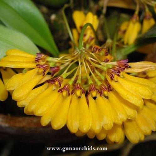Bulbophyllum Retusiusculum - WM   BS
