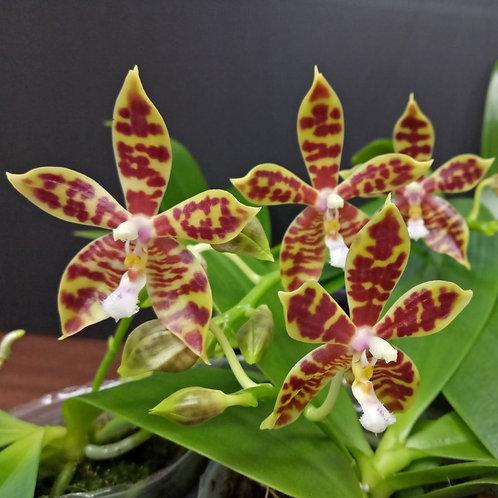 Phalaenopsis Mannii x Tetraspis