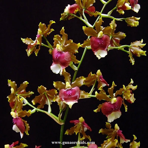Oncidium Hawaiian Sunset BS