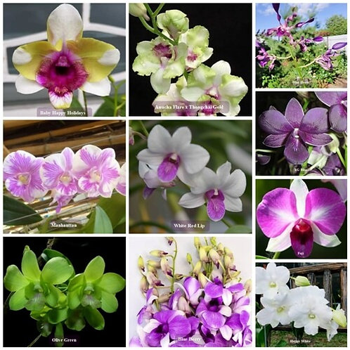 Exotic Dendrobium MS 10 Pack Combo