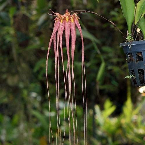 Bulbophyllum Longissimum BS