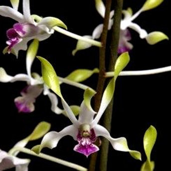 Dendrobium Antelope Helix MS