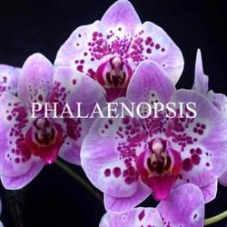 Shop Phalaenopsis Orchids Online