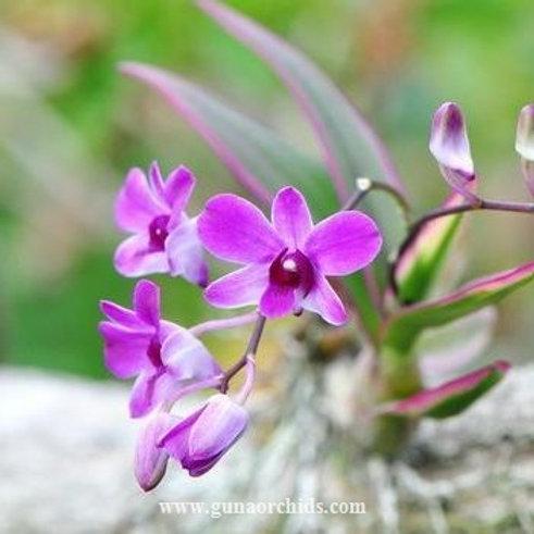 Dendrobium Phalaenopsis Mini Variegated BS