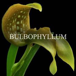 Shop Bulbophyllum Orchids Online