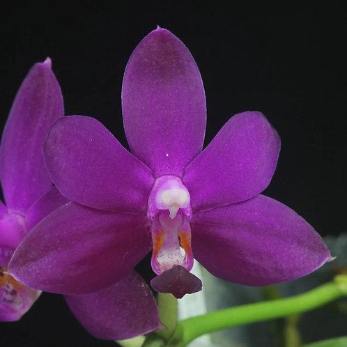 Dtps.Purple Martin x Phal.Violacea Indigo