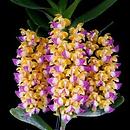 link to buy vanda orchids online