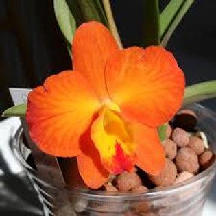 Cattleya Beaufort x Cernua