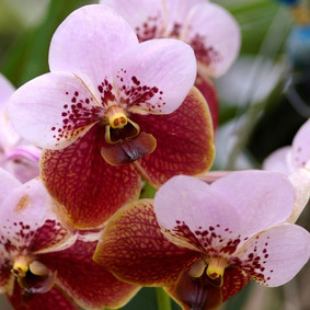 How to Grow: Vanda Orchid Care