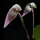 link to buy bulbophyllum orchids online