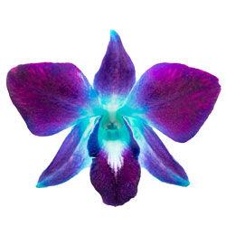 buy dendrobium orchid plants online