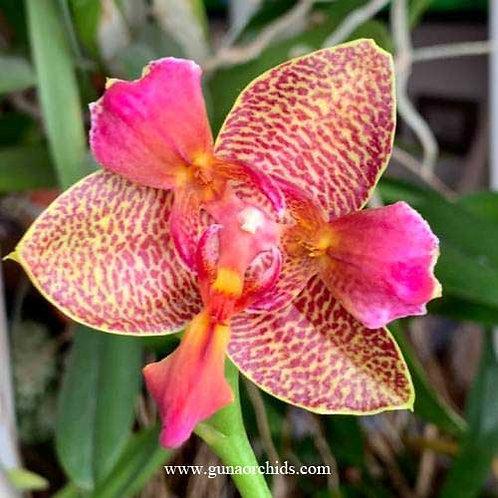 Phalaenopsis Joy Fairy Tale BS