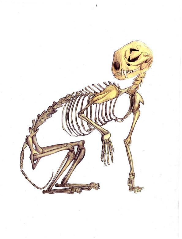 Ocelot skeleton by Greta Romelfanger