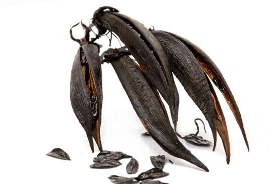ew Zealand flax (Phormium tenax)