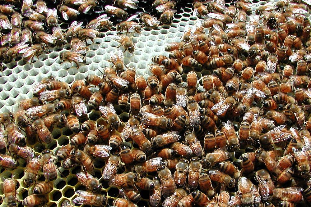 Mark's_bees