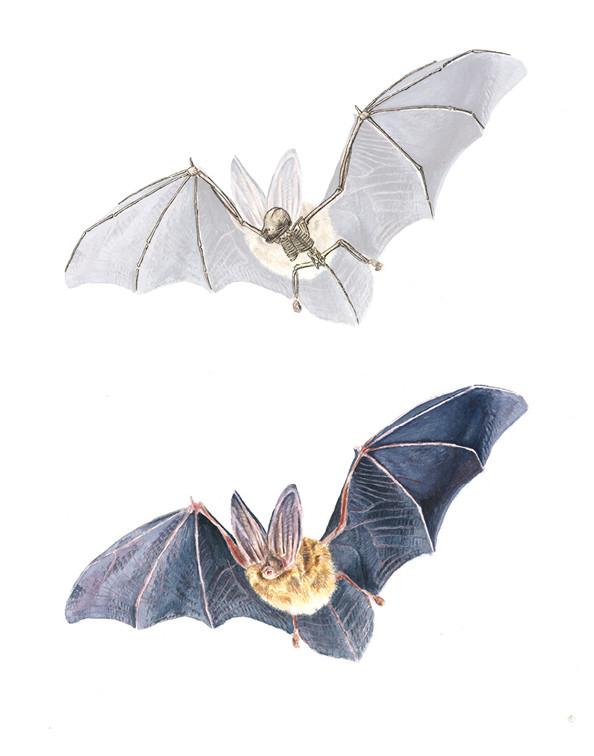 Bat skeleton by Kelvin Wu
