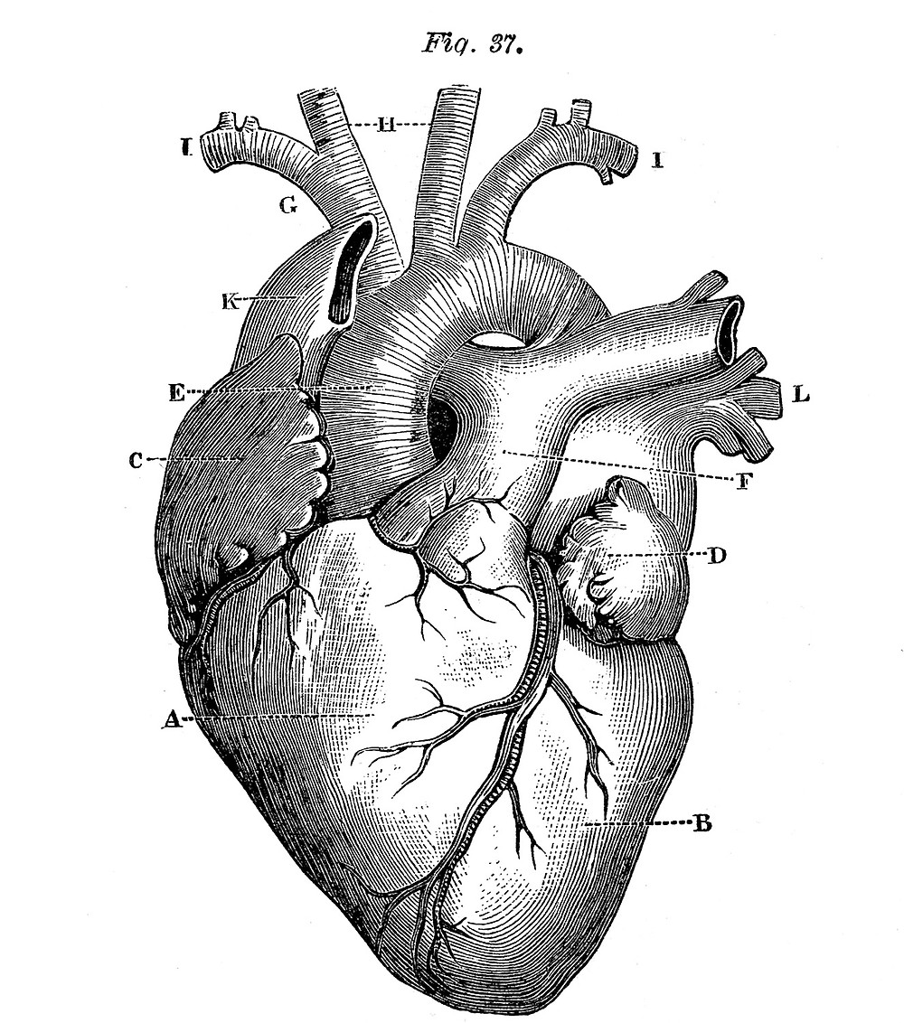 Anatomy-Heart-Images-Vintage-GraphicsFairy1