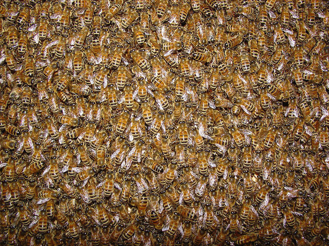 Bees by Alan Taylor on Flickr: http://bit.ly/1qbTGTs