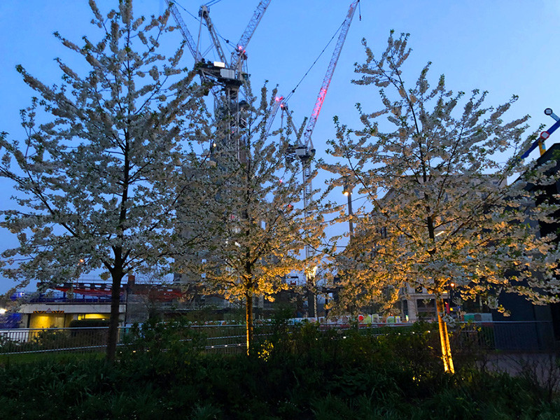 Canal-side cherry trees in blossom against the backdrop of Google's new European headquarters under construction at Kings Cross.