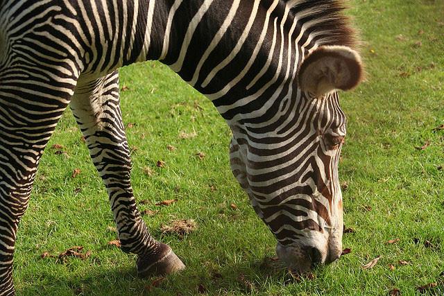 Zebra Stripes by Ruth Hartnup on Flickr: http://bit.ly/1uwGyKD