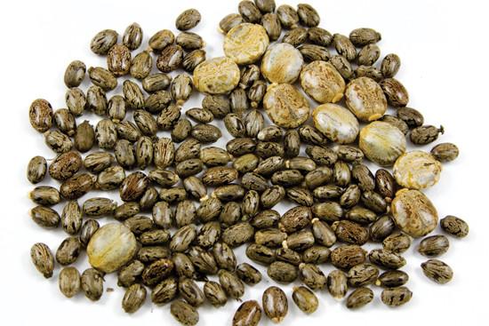 The Castor Bean