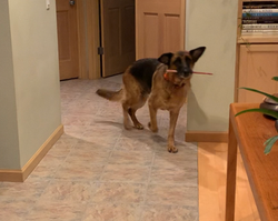 Josie bully stick