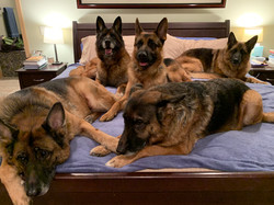 5 dogs on bed