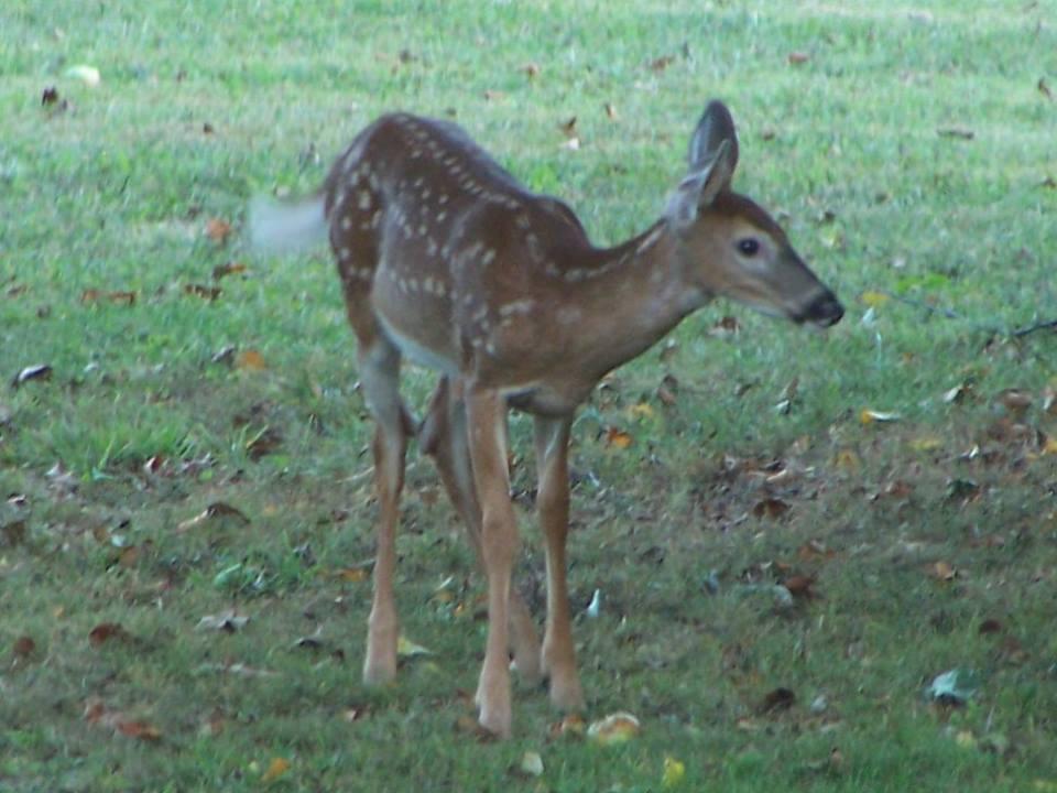Baby deer visiting