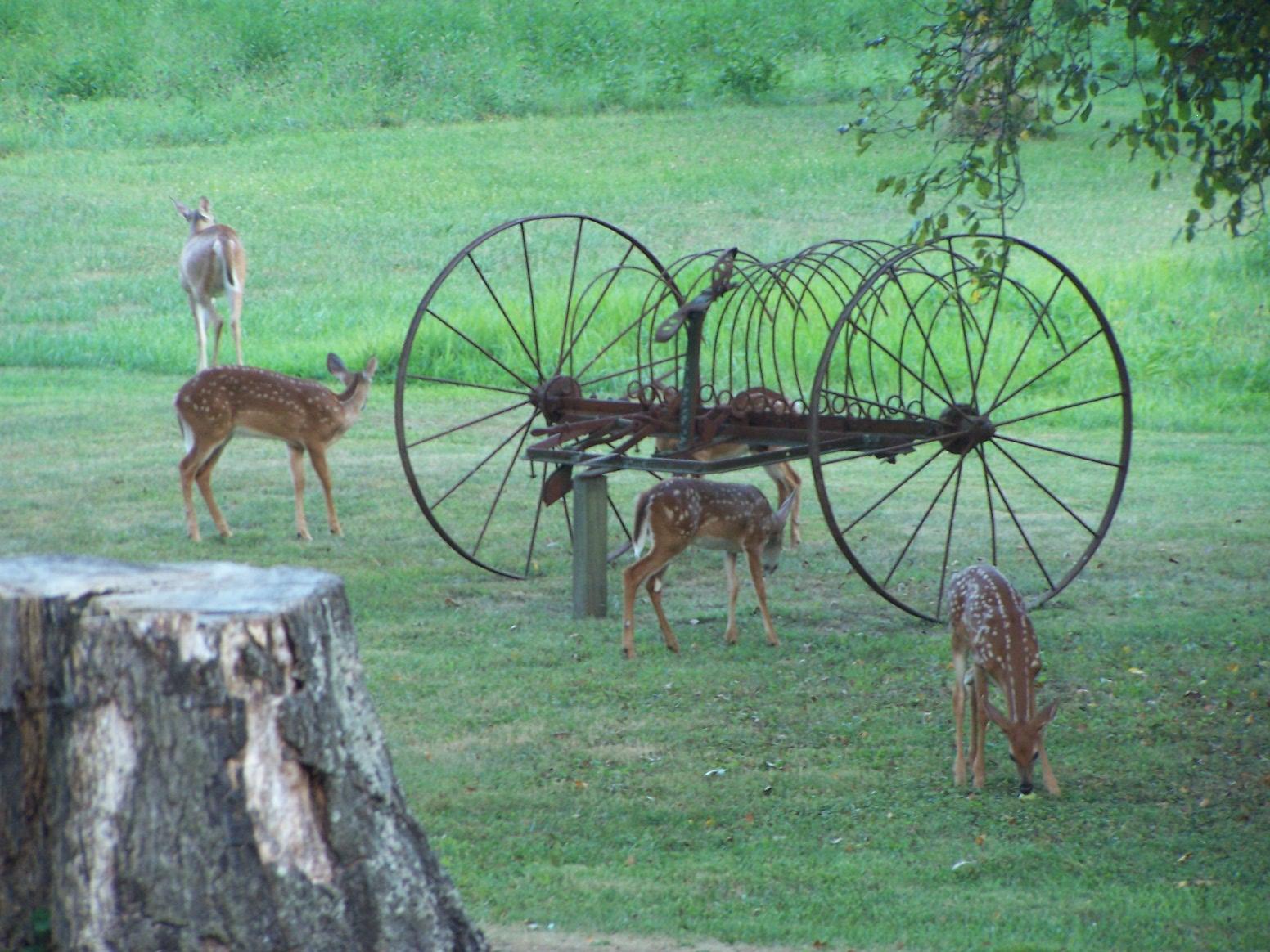 Deer at rake