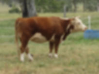 Delilah miniature hereford cow