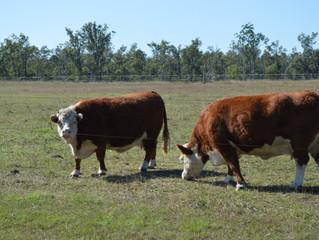 Cows arrive