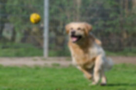 1367470856-golden-retriever-750592_1920-