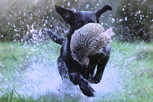 labrador Retrieving in Water Greeting Card
