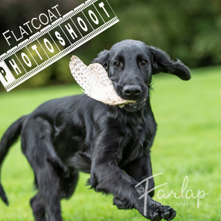 flat coat pup being trained on wing.jpg