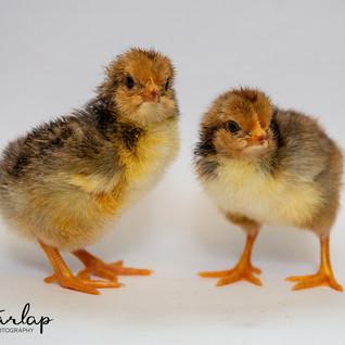 Swedish Flower Hen Chicks