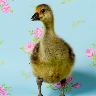 Day old gosling