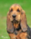 bloodhound puppy