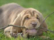 bloodhond puppy
