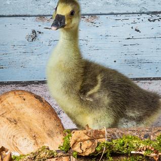 Embden gosling