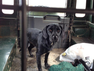 Lost Labrador, Devon
