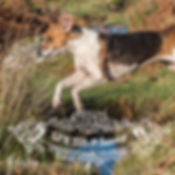 foxhound leaping stream website.jpg