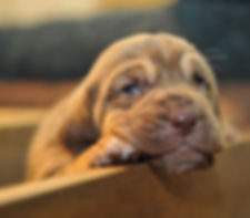 bloodhound breeder