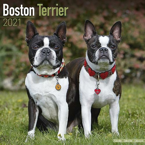 Boston terrier 2021 Calendar