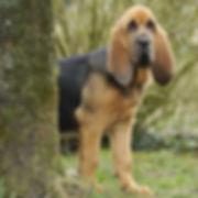 bloodhound breeders