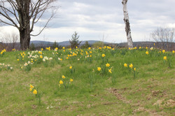 daffodills 2014 168.JPG