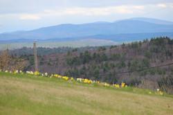 daffodills 2014 162.JPG