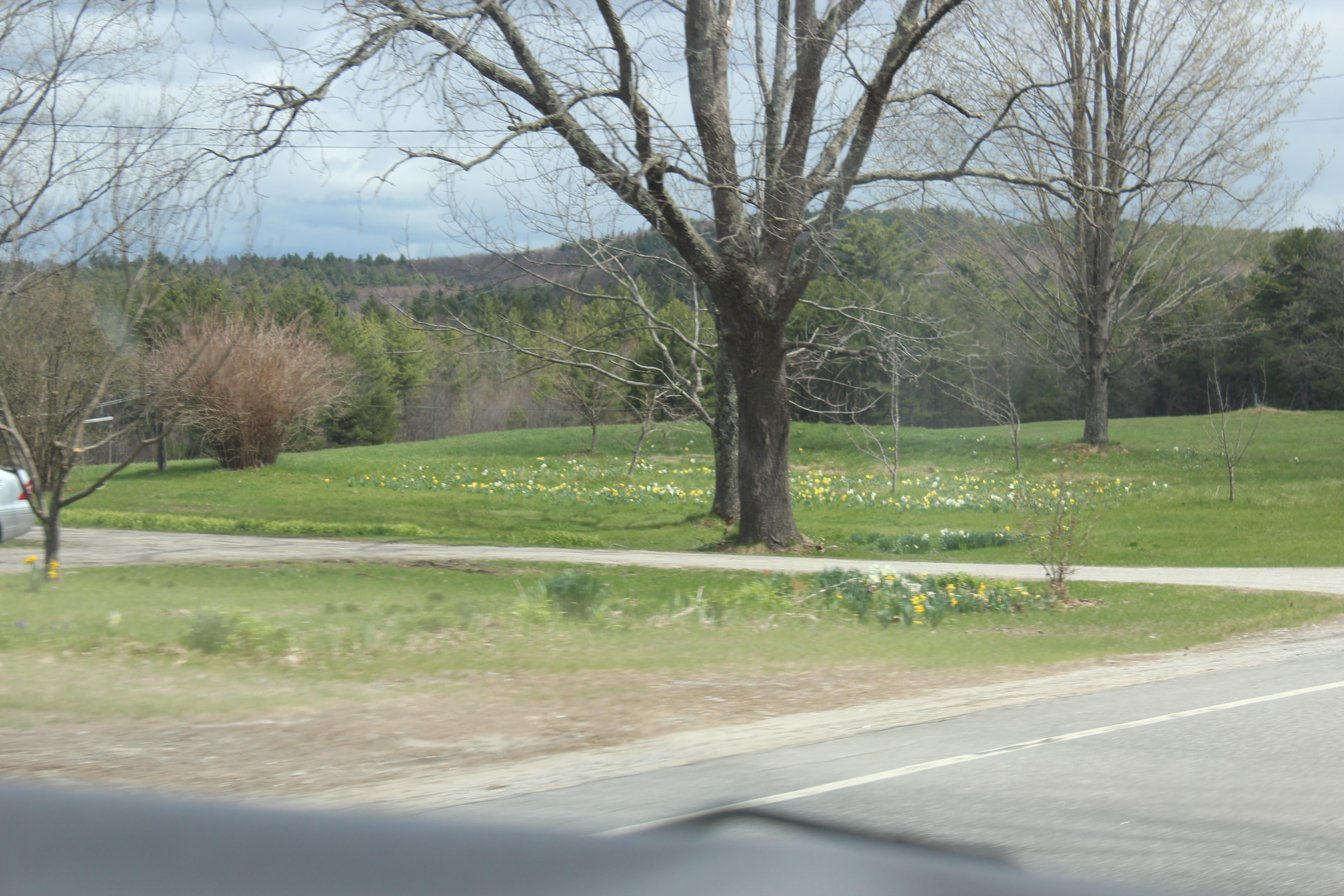daffodills 2014 026.JPG