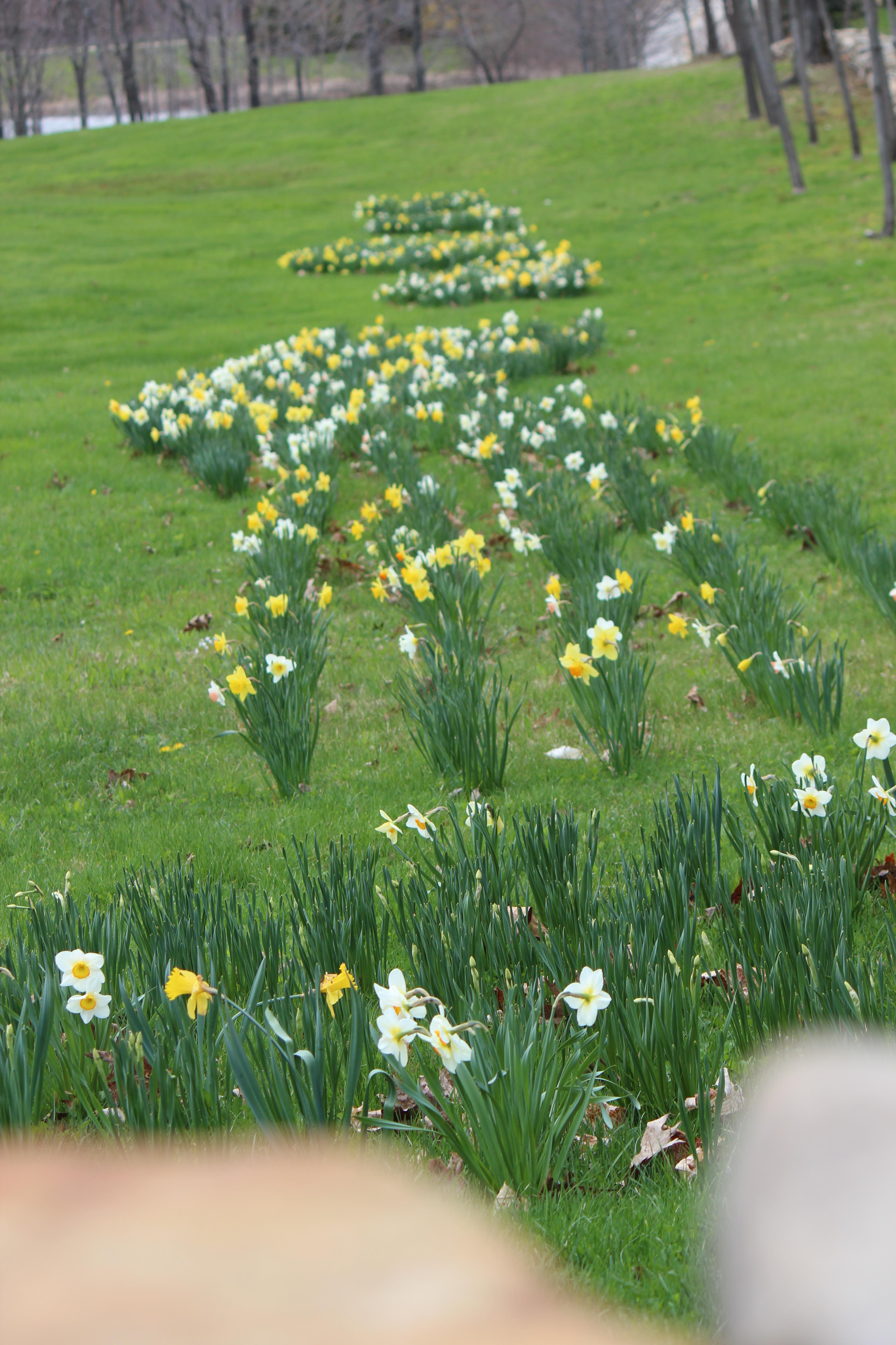 daffodills 2014 125.JPG