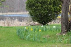 daffodills 2014 177.JPG
